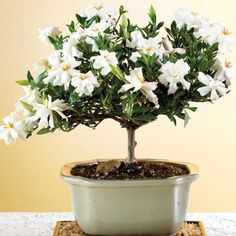 How to Grow a Gardenia Bonsai - Bonsai Tree Care- The Ultimate Guide