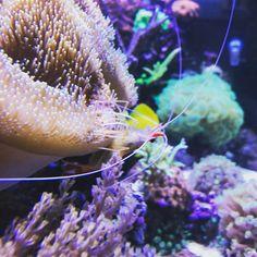Unsere feine Putzergarnele #meerwasseraquarium #reefing #reeftank #reefjunkie #reefporn #coralporn #koralle
