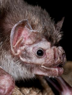 common vampire bat!