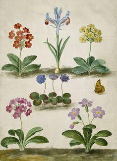 J. J. Walther - Primula trifolia