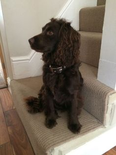 KC reg proven Working Cocker Spaniel for stud | Wakefield, West Yorkshire | Pets4Homes