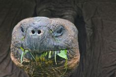 Galapagos Tortoise   - Explore the World with Travel Nerd Nici, one Country at a Time. http://TravelNerdNici.com