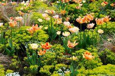 Orange! Wolfsmilch und Tulpen; Euphorbia, Tulipa