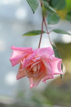 ~Tea Rose: Rosa 'Madame Berkeley' (France, 1898)