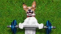 Śmieszne, Pies, Jack Russell terrier, Ciężary
