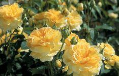 Highly Recommended Roses - David Austin Roses : Highly Recommended by David Austin, Shrub Roses, Very Small Shrub - up to Small Shrub - and Small-Medium Shrub - David Austin Roses, Rose Garden Portland, Rose Foto, Pruning Roses, Ronsard Rose, Heirloom Roses, Rose Varieties, Shrub Roses, Floribunda Roses