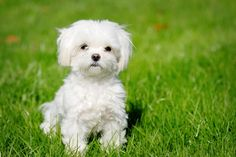 Sevimli bir süs köpeği