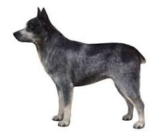 Image result for Australian stumpy tail dog