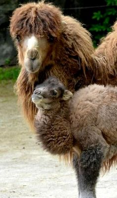 Who would imagion that a camel is a cousin to the beautiful alpaca, but look how cute the baby is.