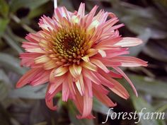 Forestfarm Hot Pink Flowers, Love Flowers, Sun Flowers, Herbaceous Perennials, Unusual Plants, Black Eyed Susan, Ornamental Plants, Plant Nursery, Summer Garden