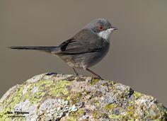 https://flic.kr/p/24nGfvd | Curruca cabecinegra hembra/Madrid | Sardinian Warbler (Sylvia melanocephala) Spain