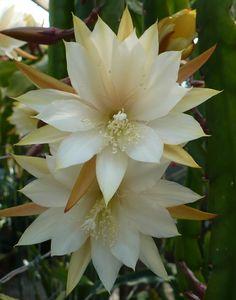 Epiphyllum KIWI HONEY LOVE