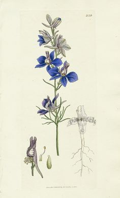 James Sowerby Botanical Prints from English Botany or Colored Figures of British Plants Vintage Botanical Prints, Botanical Drawings, Antique Prints, Botanical Flowers, Botanical Art, Plant Illustration, Delphinium, Botany, Body Art Tattoos