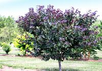 Raise a toast to this drought- and heat- tolerant redbud with Merlot-colored leaves. M erlot Redbud (PPAF)  is the preferred vintage for t...