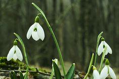 """やがて訪れる春を、ひと足早く告げる花。雪の雫のような""""スノードロップ""""にまつわるものがたり。  Yagate otozureru haru o, hitoashi hayaku tsugeru hana. Yuki no shizuku no yōna """"sunō doroppu"""" ni matsuwaru monogatari.  Bunga yang selangkah lebih cepat, mengabarkan musim semi yang akhirnya datang. Kisah cerita di sekitar """"snow drop"""" yang seperti tetesan salju."""