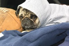 Little Pug Playin' Hood Grimm Tales, Fawn Pug, Pet Costumes, Pug Life, I Love Dogs, Dog Training, Make Me Smile, Dogs And Puppies, Cute Animals