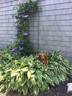 Raw Fed Friend Brandi was hiding in the bushes to stay cool today. Where does your pet keep cool? #RawPetFood #dogshare https://www.rawpetfood.com/#utm_sguid=176877,c2a5bd36-594a-c94c-abe8-c312f89062e1