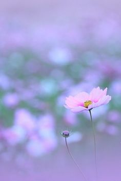 La vallee bleue - Page 961 Pastel Flowers, Beautiful Flowers, Cosmos Flowers, Colorful Flowers, Plantation, Flower Pictures, Nature Photos, Flower Power, Planting Flowers