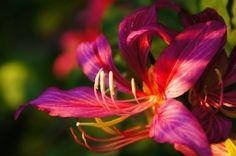 Orchidee Australien, Lila, Blume, Rosa, Travel Poster, Kunstdruck, Din, A2, A3…