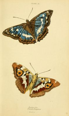 Lepidoptera illustrations  taken from 'British Butterflies' edited by William Jardine. Published  1855 by W. H. Lizars and Henry G. Bohn. Smithsonian LibrariesBiodiversity Heritage Library. archive.org