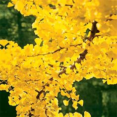 The 10 best trees and shrubs for fall color. The gingko tree puts on a spectacular yellow show in fall. With an umbrella shape and fan-shaped leaves, gingkos can grow up to 80 feet tall in zones Deciduous Trees, Trees And Shrubs, Flowering Trees, Trees To Plant, Garden Trees, Garden Plants, Ginko Tree, Gingko Leaf, Palmiers