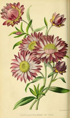 helichrysum bracteatum rosea - high resolution image from old book. Beautiful Flower Drawings, Beautiful Flowers Pictures, Plant Illustration, Botanical Illustration, Botanical Flowers, Botanical Prints, Flower Prints, Flower Art, Decoupage