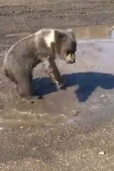 Berkley The Bear Cub Loves To Play In Puddles, Flowers At Discovery Wildlife Park