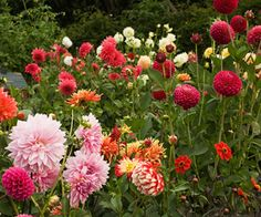 Dahlias are a cheery garden addition, and for good reason: They come in a rainbow of interesting colors and patterns and a variety of bloom sizes. That makes them a flexible species, able to stand easily on their own or to work as a complement to other summertime flowers. Here, a mix-and-match arrangement of pink and red provides an exuberant display.