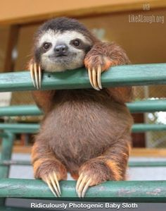 Ridiculously Photogenic Baby Sloth