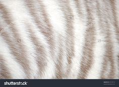 white tiger pelt - Google Search