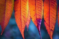The Plume - fall leaves ...