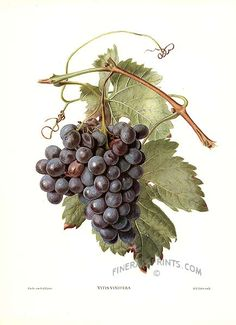 Genuine antique print of Wine Grapes from Vintage Prints of Fruit by Reifel