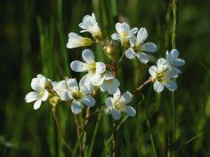 Heinrich Wilhelm: Die weißen Blüten des Steinbrech - Leinwandbild auf Keilrahmen