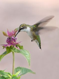 """We chase after hummingbirds nearly everyplace that we go. but this one came to our """"Hummingbird and Butterfly Garden"""" while I was photographing butterflies.Female Ruby Throated Hummingbird dining on Bee Balm. Ruby Throated Hummingbird, Hummingbird Garden, Hummingbird Tattoo, Bee Balm Flower, Animals And Pets, Cute Animals, Strange Animals, Flower Close Up, Landscape Photos"""