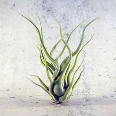 Air plant Caput Medusae by DraadZaken on Etsy Hanging Air Plants, Indoor Plants, Indoor Gardening, Air Plant Display, Plant Decor, Air Plants Care, Air Plant Terrarium, Terrariums, House Plant Care