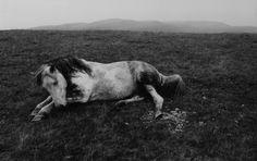 Bruce Davidson American (1933- ) • The Welsh Pony
