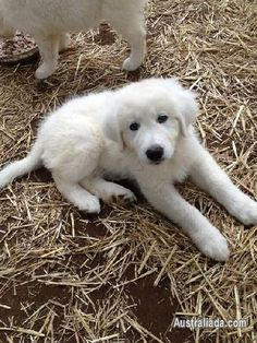 Maremma Sheepdog Pups. Similar to a Great Pyrenees in looks and temperament.  Maremma are from Italy.