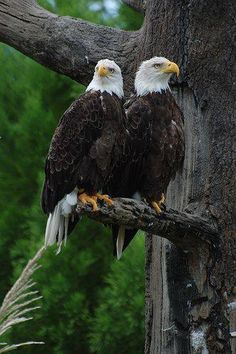 Majestic Pair....we just saw a bald eagle a few days ago! First one I've ever seen in Illinois.