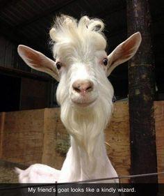 a funny goats