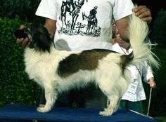 Kokoni Dog Breed Information and Pictures
