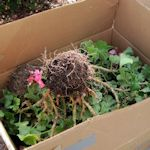 Overwintering Geraniums: Place geraniums upside down in a box and cover with newspaper and replant in the Spring.