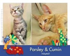 Adorable Parsley and Cumin were rescued as part of a group of 20 cats in danger in their neighborhood because of a dog fighting ring. Dog fighters use kittens for unspeakable purposes and some kind neighborhood ladies noticed that the feral kittens they had been feeding were disappearing. They quickly realized what was happening, called the authorities and called AH.. Parsley and Cumin are the 17th and 18th kitties from that group to be adopted and there are pending adoptions on the last…