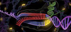 """<p>La herramienta utilizada para esta edición genética se llama<a href=""""http://www.agenciasinc.es/Multimedia/Infografias/Asi-funciona-CRISPR-la-revolucionaria-herramienta-de-edicion-de-ADN"""" target=""""_blank"""">CRISPR</a> y actúa comounas tijeras de ADN./ Universidad de Berkeley</p>"""