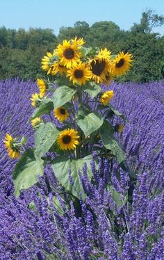 Sunflower in Lavender: Photo by Photographer Donna Meadows - photo.net