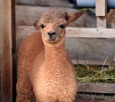Free Image on Pixabay - Alpaca, Head, Animal, Fluffy, Furry Cute Alpaca, Baby Alpaca, Alpaca Images, Alpaca Drawing, Barn Layout, Human Babies, Funny Photography, Baby Images, Hobby Farms