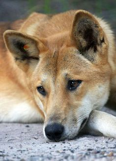 I'm planning an Australiana series shortly, and the dingo will be in it. Gorgeous creatures!