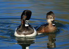 Pair of ring-necked ducks acting coy after mating. Riparian Preserve, Gilbert, AZ, USA.
