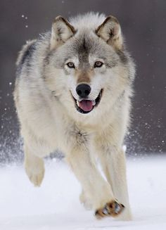 Great photo of   Gray Wolf Minnesota By Lisa Dearing :)