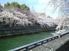 Lined with cherry trees along the river