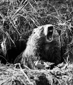 6 more weeks of winter according to Punxsutawney Phil who saw his shadow today. In honor of Groundhog Day, LIFE presents this unidentified groundhog from 1948. According to records, Phil also saw his shadow in 1948. (Andreas Feininger—The LIFE Picture Collection/Getty Images) #groundhog #groundhogday #TBT